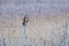 R17_7964 (ronald groenendijk) Tags: cronaldgroenendijk 2017 asioflammeus rgflickrrg animal bird birds birdsofprey groenendijk nature natuur natuurfotografie outdoor owl owls ronaldgroenendijk roofvogels shortearedowl velduil vogel wildlife