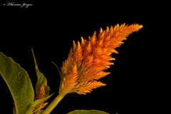 Etched in Orange 0719 Copyrighted (Tjerger) Tags: nature black blackbackground bloom closeup flora floral flower green leaves macro orange plant portrait stem summer wisconsin yellow etched spire celosia natural