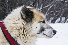 Snowdog (• Julien Laroche) Tags: chien dog race neige snow froid traineau couleur blanc white color animal animaux animals jlaphotographie sonyalpha colombier seyssel ain fetedelaneige grandcolombier oeil eyes yeux huskies huskie