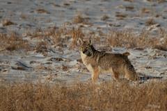 Coyote (jpeder55) Tags: jackson xt2 cold fujifilm grandtetonnationalpark jpedersenphotography landscape nature winter wyoming
