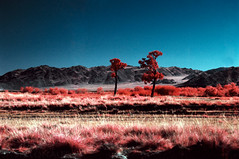 Before mountains (tsiklonaut) Tags: pentax 67 6x7 67ii film analog analogue analogica analoog 120 roll kodak aerochrome eir e6 slide dia positive ektachrome fuji hunt chrome 6x mongolia mongoolia landscape infrared infra color colour vivid red mongolian maastik trees steppe stepp travel discover experience bush põõsastik asia aasia drum scan drumscan scanner pmt photomultipliertube mountain mountains altai siilkhem tsengel east west ngc nature loodus