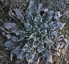 7064 Frosted greenery (Andy - Busyyyyyyyyy) Tags: 20170114 fff frost ggg greenery kent plant ppp