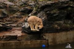 Tierpark Berlin 26.12.2017 047 (Fruehlingsstern) Tags: eisbär polarbear wolodja rothund nashorn stachelschwein tierparkberlin canoneos750 tamron16300