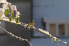 Winter (Natali Antonovich) Tags: winter christmasholidays christmas snow frost nature tervuren belgium belgique belgie bird light