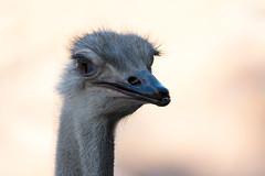 Coqueta Avestruz (marcelocanales) Tags: avestruz ostrich aves birds naturaleza natura animasles animals chile buinzoo zoo