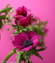 """Spring on the diningtable"" (A.J. Boonstra) Tags: canon canoneos canon70d pinkanemonecoronaria decaen ef100mmf28lmacroisusm falconeyesskk2150d falconeyessoftbox westcottsilverumbrella anemone anemoon flowers closeup macro indoor"