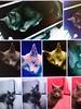 Thursday's Child (mArc ferré) Tags: griou cat chat patchwork montage db davidbowie thursdayschild jeudi thursday