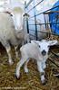 O pequeno (AndreiaFMS) Tags: photo photographies andreiasarnadinha portugal alentejo lumix inverno winter ovino ovine ovisaries ovelhinha ovelhas ovelha lamb cordeiro son mom momandson little