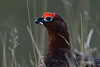 Head Shot. (stonefaction) Tags: red grouse angus glen birds nature wildlife scotland