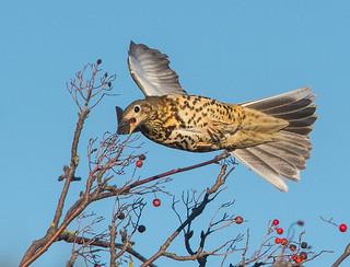 Mistle Thrush chasing Redwing. Bramcote, Nottinghamshire. DSC_9790.jpg