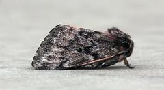 Pandora pinemoth (Jeff Mitton) Tags: pandorapinemoth pinemoth moth coloradiapandora coloradoplateau redrockcountry utah wondersofnature