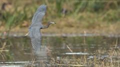 Little blue heron in Flight (Raymond J Barlow) Tags: heron florida birdinflight travel adventure workshop wildlife phototour raymondbarlow outdoor swamp