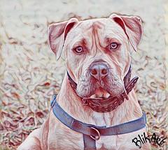2017-02-04_09-28-31 (BlikART) Tags: pitbull pitbullterrier americanpitbull playground pentaxart blikart winter 2017