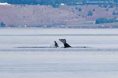 Transient orcas, playing and tail slapping (5/21/15) (wanderinggrrl) Tags: year2 week52
