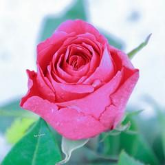 ดอกกุหลาบมีหลายสี แต่ละสีมีความหมายแตกต่างกัน เหมือนคน ที่มีหลายแบบ แต่ในความหลากหลาย การอยู่ร่วมกันคือ ศิลปะ ============================ กุหลาบสีแดงส่งกลิ่นซึ้งใจ  แด่ดวงฤทัยให้แทนคำรักเธอ  อยากเอ่ยวาจาว่าพี่เพ้อ ๆ  เฝ้าแต่คิดถึงเธอทุกคืนและทุกวัน  กุหล
