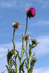 Uprising (gripspix (catching up slowly)) Tags: plant flower nature thistle natur pflanze blume muskthistle distel carduusnutans nickendedistel 20150616