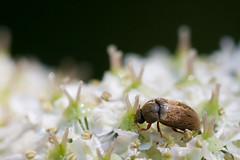 Fruitworm Beetle (oandrews) Tags: england plants plant nature insect outside outdoors unitedkingdom outdoor wildlife beetle gb beetles broughton invertebrate invertebrates cowparsley minibeasts minibeast ochraceus fruitworm byturus