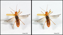 L40_1363_3d (fotoopa) Tags: macro inflight 3d insects laser highspeed flyinginsects highspeedflash 3dphotography vliegende insectsinflight vliegend 3dmacro highspeedcapture picturesinflight highspeedmacro af10528dmicro fotoopa inflightinsects lasercontrol lasertriggered vliegendeinsecten laserdetection 3dinsects 3dinflight lasercamera flyinghighspeedinsects highspeedlaserdetector irlaserdetection multiplelaserdetection insectenfotografie vliegendebeestjes fotosvliegendeinsecten picturesinflightinsects