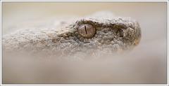 Macrovipera lebetina lebetina_ (Thor Hakonsen) Tags: snake cyprus viper paphos bluntnosedviper macroviperalebetinalebetina levantesviper