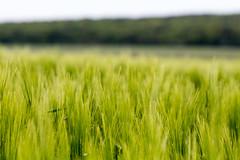 Summer field (Aurlien Paquay - amateur photographer) Tags: summer green field canon wheat champs t bl