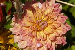 flowers_6826 (Manohar_Auroville) Tags: show girls plants india flower beauty kerala luigi munnar fedele manohar