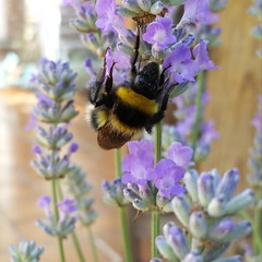 Photo of A #bumblebee on my new lavender plant.