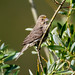 Fledgling yellow-variant House finch ?....1 of 2 in set