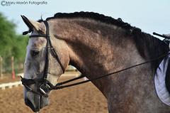 Jornalero XVI Yeguada El Yunque (Maru Morn Fotografa) Tags: show horse caballo cheval grey pre elyunque cavalo pferd equestrian stallion equine caballero hest andalusian equus potro doma dressage horserider hipica yeguada equestrianism equitacion hipismo purarazaespaol domaclasica