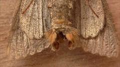 Unknown Moth (Bruce Hurst aka Zincfreud) Tags: insects moths noctuidae britishwildlife entomology northwales genitalia macromoths lepidotera lepidopterans caernarvonshire vc49