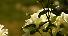 Buzzed (Karen McQuilkin) Tags: white macro bee portlandoregon buzzed rosegarden buzzing internationalrosegardens karenmcquilkin