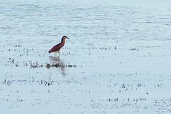 Purple Heron (Curufinwe - David B.) Tags: sea santacruz fish tree bird beach heron nature