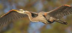 IMG_7753 Great Blue Heron (cmsheehyjr) Tags: cmsheehy colemansheehy nature wildlife bird heron greatblueheron rappahannock virginia ardeaherodias