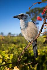 Florida Scrub Jay (Outback Photo Adventures) Tags: florida scrub jay scrubjay floridascrubjay threatened canon1dxmarkii