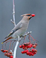Waxwing (oddie25) Tags: canon 1dx 600mmf4ii waxwing wales winter migrant bird nature wildlife barry rowan berries