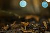 IMG_1283 (::Lens a Lot::) Tags: paris | 2016 carl zeiss aus jena ddr tessar 50mm f28 1973 5 blades iris m42 macro close up closeup bokeh depth field mushroom light night color flare vintage manual german fixed length prime lens germany profondeur de champ effet nature flou extérieur