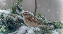 American Tree Sparrow (Summerside90) Tags: birds birdwatcher americantreesparrow december fall autumn backyard garden nature wildlife ontario canada