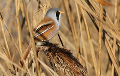 Bearded Tit (Bearded Reedling) 030117  (30) (Richard Collier - Wildlife and Travel Photography) Tags: wildlife naturalhistory birds british britishbirds beardedtit beardedreedling rspb radipolereserve rspbradipole naturethroughthelens