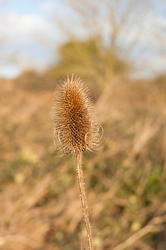 Teasel, winter