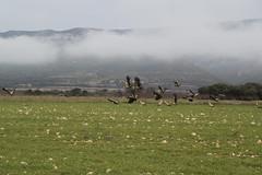 Buitres (albalacambra) Tags: huesca niebla montañas buitre mountains loarre bandada aire libre invierno