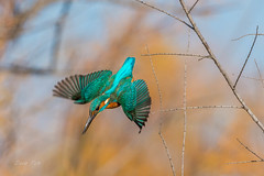 Kingfisher 2 (dave_poth) Tags:
