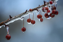 Cherries Drops (jeanineleech) Tags: december ice pennsylvania southpark southparkcountypark cold flakes icy snow snowcovered snowfall trees white winter usa