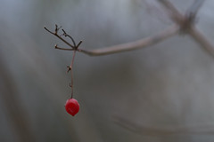 Keeping The Best To Last... (paulinuk99999 (really busy at present)) Tags: paulinuk99999 red berry last winter 2016 sal135f18za zeiss bokeh dof