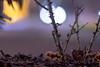 Miami Vice Mushrooms (::Lens a Lot::) Tags: auto makinon mc macro 135mm f25 70s | 8 blades iris nikon ai night light bokeh depth field dof close up color pink purple yellow vintage cheap manual fixed lens length prime mushroom japan