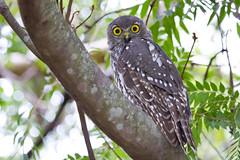 Barking Owl 3 (petefeats) Tags: australia barkingowl birds goldcoast nature ninoxconnivens queensland strigiformes schusterpark strigidae