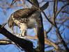 LATE LUNCH (dennis d. davila) Tags: raptor nikon nikkor d750 nature 300mmf4 naturewatcher