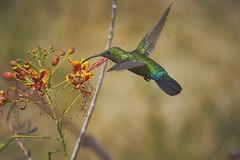 Green-Throated Carib (ronmcmanus1) Tags: antigua bird nature outdoors wildlife jollyharbour stmarysparish antiguabarbuda