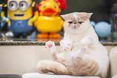 Sit (BWCK Photography) Tags: piggy bun exotic shorthair cat kitten boy animal pet lovely cute pig creamy