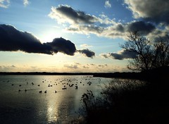 swan lake (MEG/TYO) Tags: swans lake miyagi japan kurihara tome izunuma swanp twiligh olympus xz10 colour bird wetland