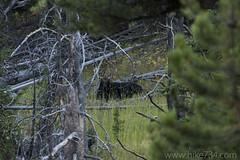 "Bull Moose along Glen Creek • <a style=""font-size:0.8em;"" href=""http://www.flickr.com/photos/63501323@N07/32013248315/"" target=""_blank"">View on Flickr</a>"