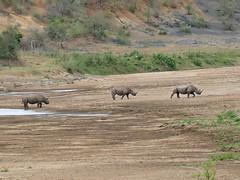Black Rhinos (Diceros bicornis minor) in Black iMfolozi riverbed ... (berniedup) Tags: sontuliloop imfolozi hluhluweimfolozi blackrhino dicerosbicornisminor rhinoceros rhino taxonomy:trinomial=dicerosbicornisminor taxonomy:binomial=dicerosbicornis dicerosbicornis